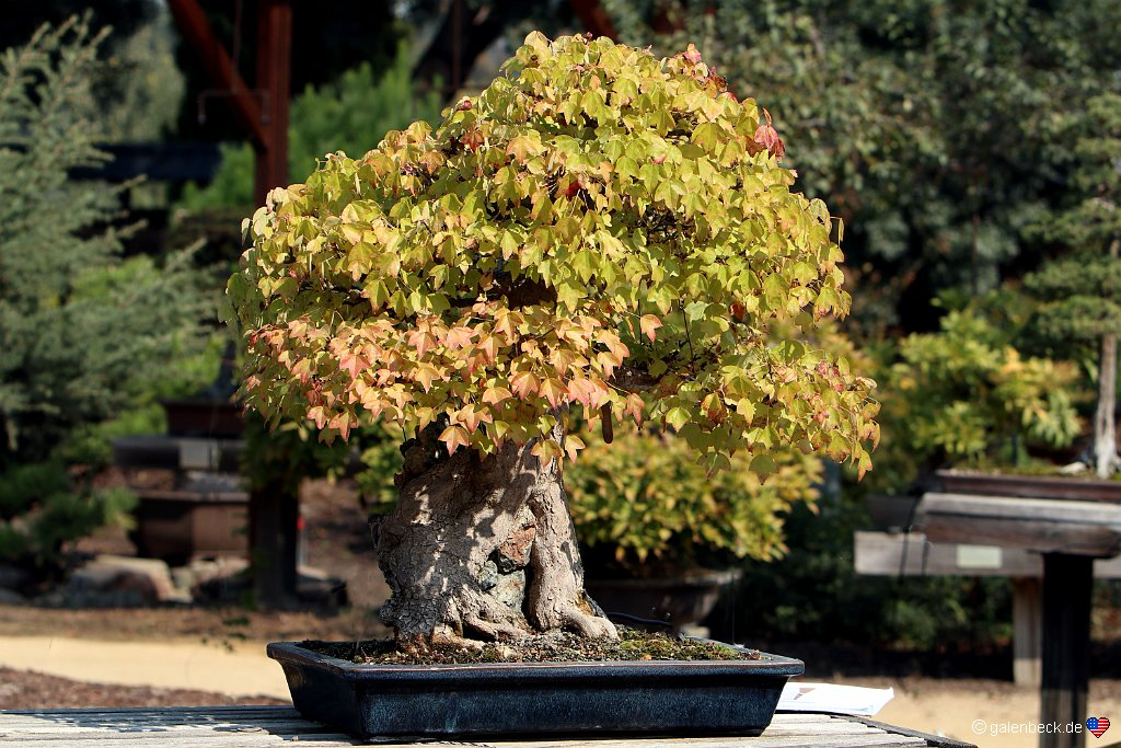 Golden State Bonsai Collection