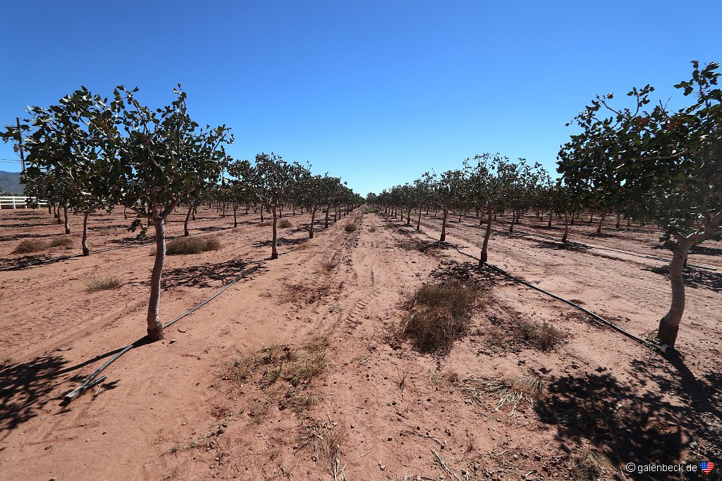 McGinns Pistachio Tree Ranch
